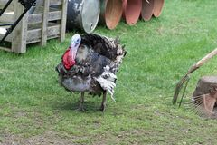 Indyk na gospodarstwie rolnym outdoors Obraz Stock
