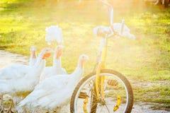 Indyki i stary bicykl przy zmierzchem, backlit Zdjęcie Stock