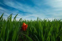 Indywidualny czerwony okwitnięcie tulipan w polu zielona trawa Zdjęcia Royalty Free