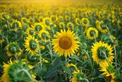 Indywidualny słonecznik Obraz Stock