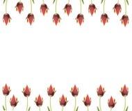 Ine dei tulipani per i bordi, i blocchi per grafici ecc Immagini Stock Libere da Diritti