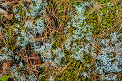 Ine Needles And White Moss Background Stock Images