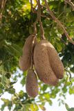 Inedible fruits of evergreen sausage tree, Kigelia africana. Inedible fruits of evergreen sausage tree, Kigelia africana, food for savannah animals Stock Image