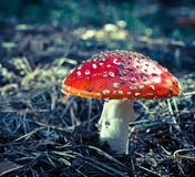 Inedible hazardous to health mushrooms Royalty Free Stock Photography