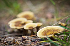 Inedible mushroom in forest Royalty Free Stock Photo