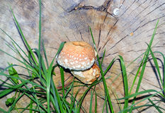 Inedible mushroom Royalty Free Stock Images
