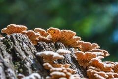 Inedible mushroom Melanistic ordinary  lat. Schizophyllum commu Stock Photography