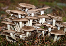Inedible mushrooms Royalty Free Stock Photos