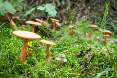Inedible mushrooms in the forest Stock Images