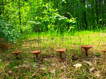Inedible mushrooms of toadstool growing in the row Stock Photo