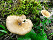 Inedible mushrooms. Toadstools growing in the forest massive.tayga, Siberia Stock Photos