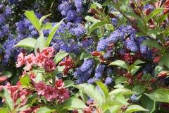 Ineengestrengelde blauwe en rode bloemen. Stock Afbeeldingen