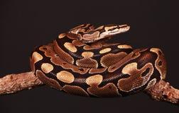 Ineengestrengelde python Royalty-vrije Stock Foto