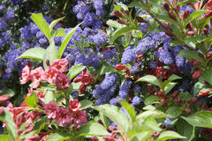 Ineinandergegriffene blaue und rote Blumen. Stockbilder
