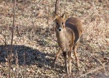 Inermis de Hydropotes dos cervos de água Imagens de Stock Royalty Free