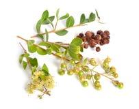 Inermis de Lawsonia, également connus arbre sous le nom de hina ou d'arbre ou de mignonette de henné et troène égyptien D'isoleme images stock
