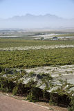 Ines under plastic sheeting in South Africa. RIEBEEK KASTEEL SWARTLAND SOUTHERN AFRICA - APRIL 2016 - Vines growing and protected by plastic sheeting at Riebeek Royalty Free Stock Photos
