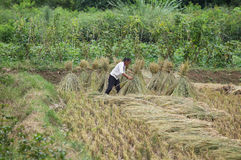 Inese native woman harvesting  ripe rice Royalty Free Stock Images