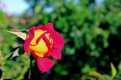 Inez Grant Parker Memorial Rose Garden Stockbilder