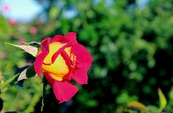 Inez Grant Parker Memorial Rose Garden Immagini Stock