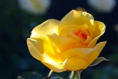 Yellow rose flower at Inez Grant Parker Memorial Rose Garden. The Inez Grant Parker Memorial Rose Garden at Balboa Park, San Diego, California, USA are full of Stock Photography