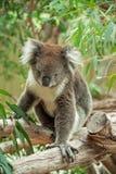 Infödd australiensisk Koala Arkivbild
