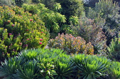 Infödd australierträdgård Fotografering för Bildbyråer