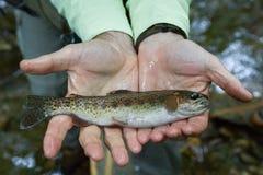 Infödd bäckforell för NC i händer för fiskare` s fotografering för bildbyråer