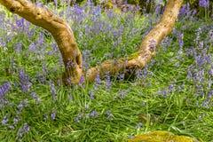 Infödd engelsk blåklocka i fältet Royaltyfria Bilder