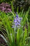 Infödd engelsk blåklocka i fältet Royaltyfri Bild