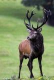 Infödd irländsk fullvuxen hankronhjort för röda hjortar fotografering för bildbyråer