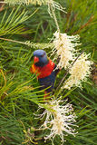 infödd papegoja Arkivfoto
