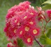infödd röd sommar för australiensisk eucalyptus Arkivfoton