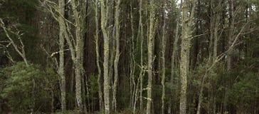 Infödd skog norr östliga Tasmanien Royaltyfri Fotografi