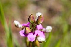 infödd växt Fotografering för Bildbyråer