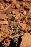 Infödd växt för australisk öken Arkivbilder