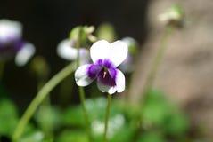 infödd violet Royaltyfri Foto