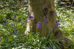 Infödda engelska blåklockor och träd Arkivfoto