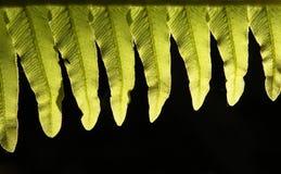 infödda ferns Fotografering för Bildbyråer