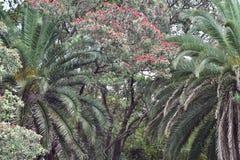 Infödda pohutukawas och importerade palmträd Fotografering för Bildbyråer