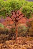Infödda träd, Kata Tjuta Royaltyfri Bild