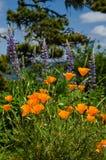 Infödda vallmo och vildblommor i blom Royaltyfria Bilder