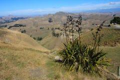Infött lin, Te Mata Peak, Napier arkivbilder