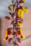 Infött och bedöva blomman från Peru Arkivbild