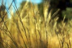Infött sommargräs Fotografering för Bildbyråer