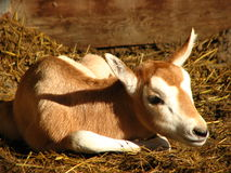 Infant antelope. Infant African antelope called oryx lying on the ground stock photo