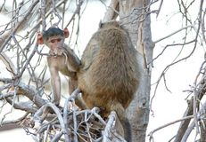 INFANT BABOON AND MOTHER FROM THE BACK IN A TREE 2 royalty free stock photography