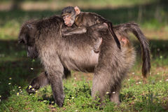 Infant baboon riding on mothers back Stock Photos
