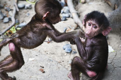 Infant/baby baboons Royalty Free Stock Images