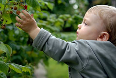 Infant in the garden. Baby infant is trying to catch raspberry Stock Photos